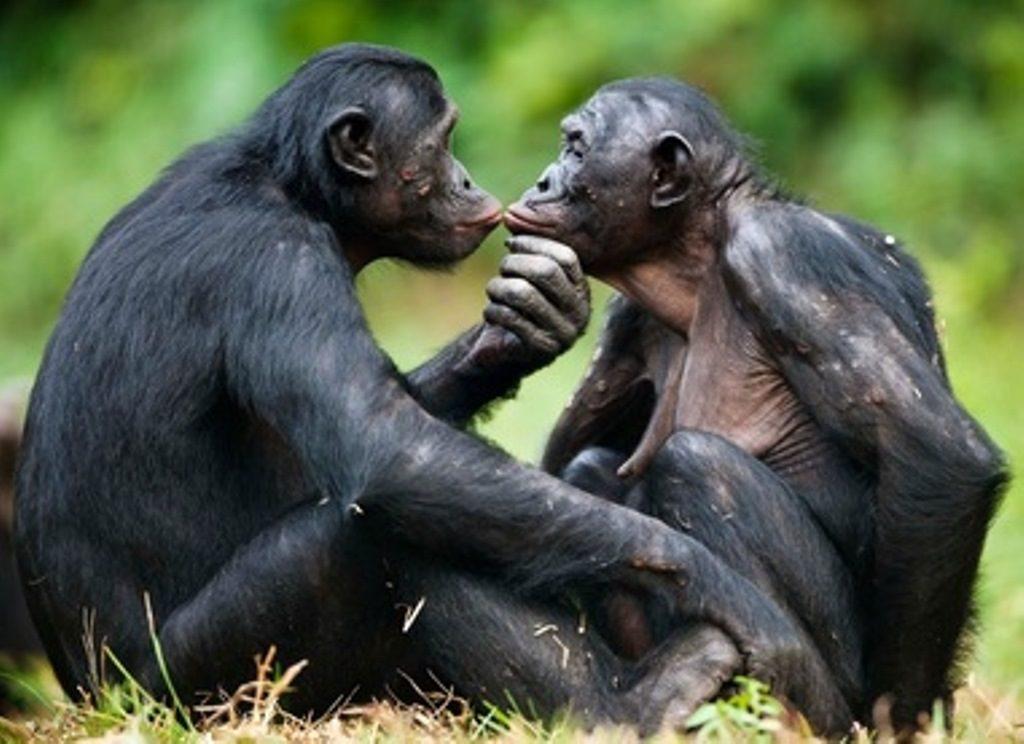 contagio emotivo tra due esemplari di bonobo