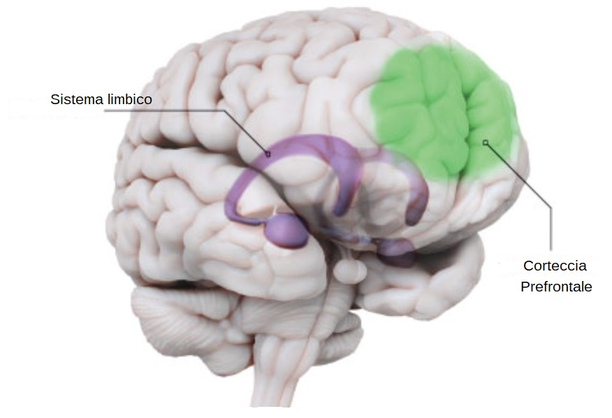 enecefalo con evidenziati la corteccia prefrontale e il sistema limbico