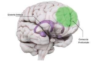 encefalo con evidenziati la corteccia prefrontale e il sistema limbico